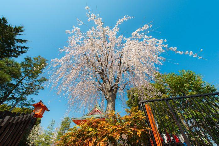 Tradisi Musim Semi dari Jepang
