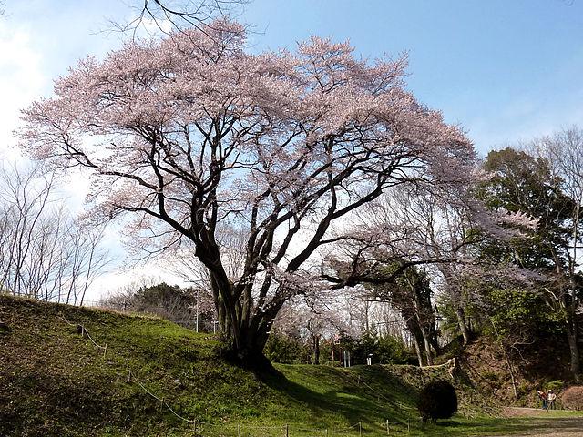 7 Jenis Sakura Populer yang Menyemarakan Musim Semi di Jepang 10
