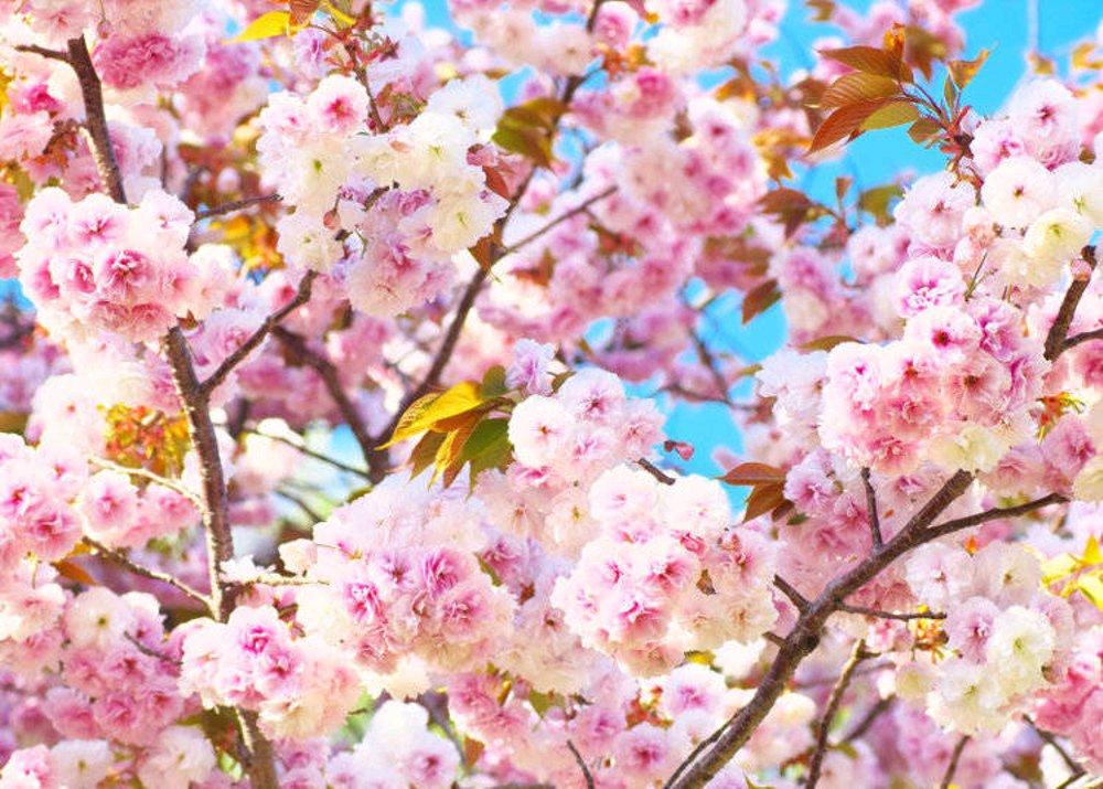 7 Jenis Sakura Populer yang Menyemarakan Musim Semi di Jepang 13