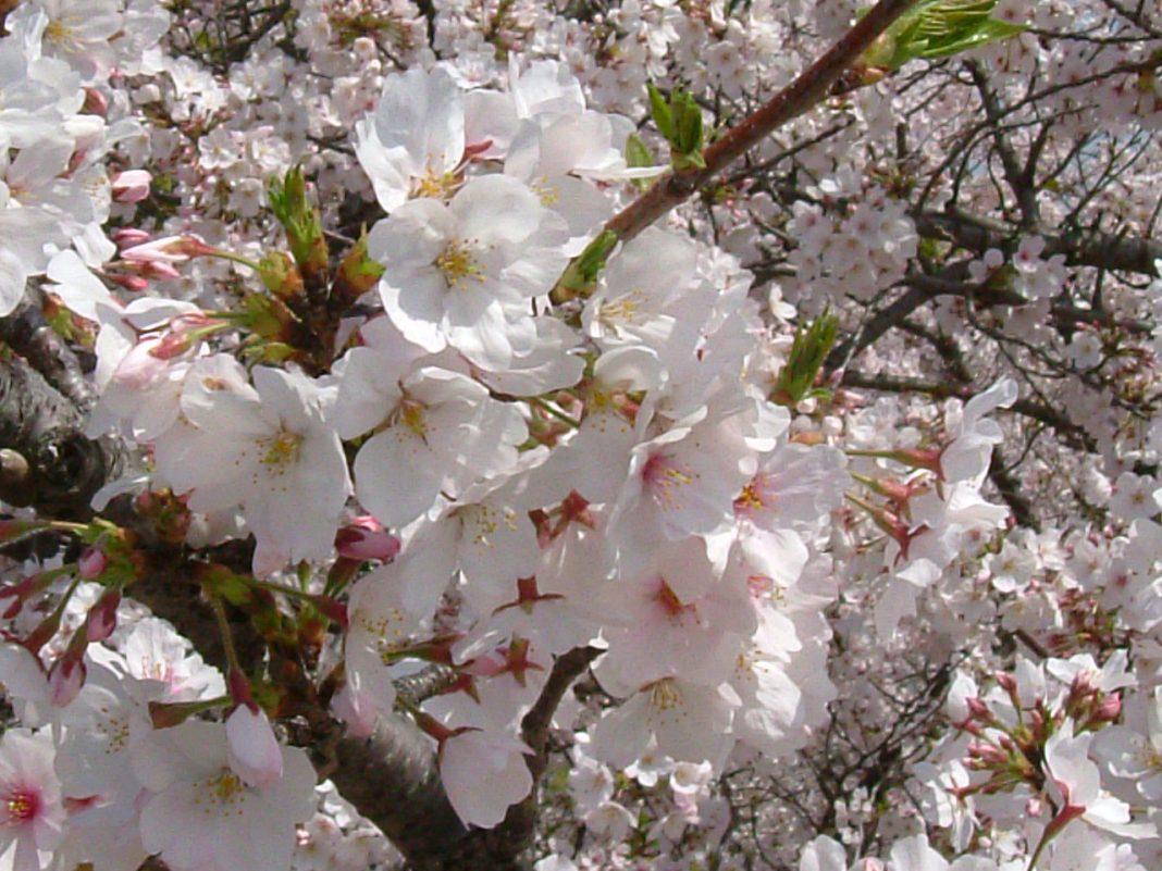 7 Jenis Sakura Populer yang Menyemarakan Musim Semi di Jepang 8