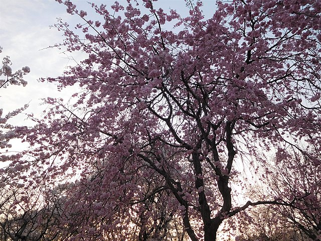 7 Jenis Sakura Populer yang Menyemarakan Musim Semi di Jepang 9