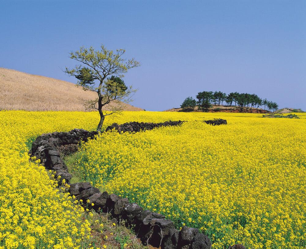 Keunikan Pulau Jeju Dibandingkan Tempat Lainnya di Korea Selatan 5