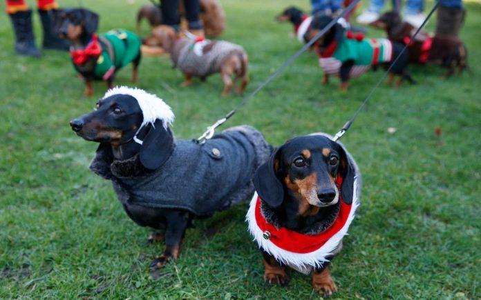 Parade Anjing Dachshund